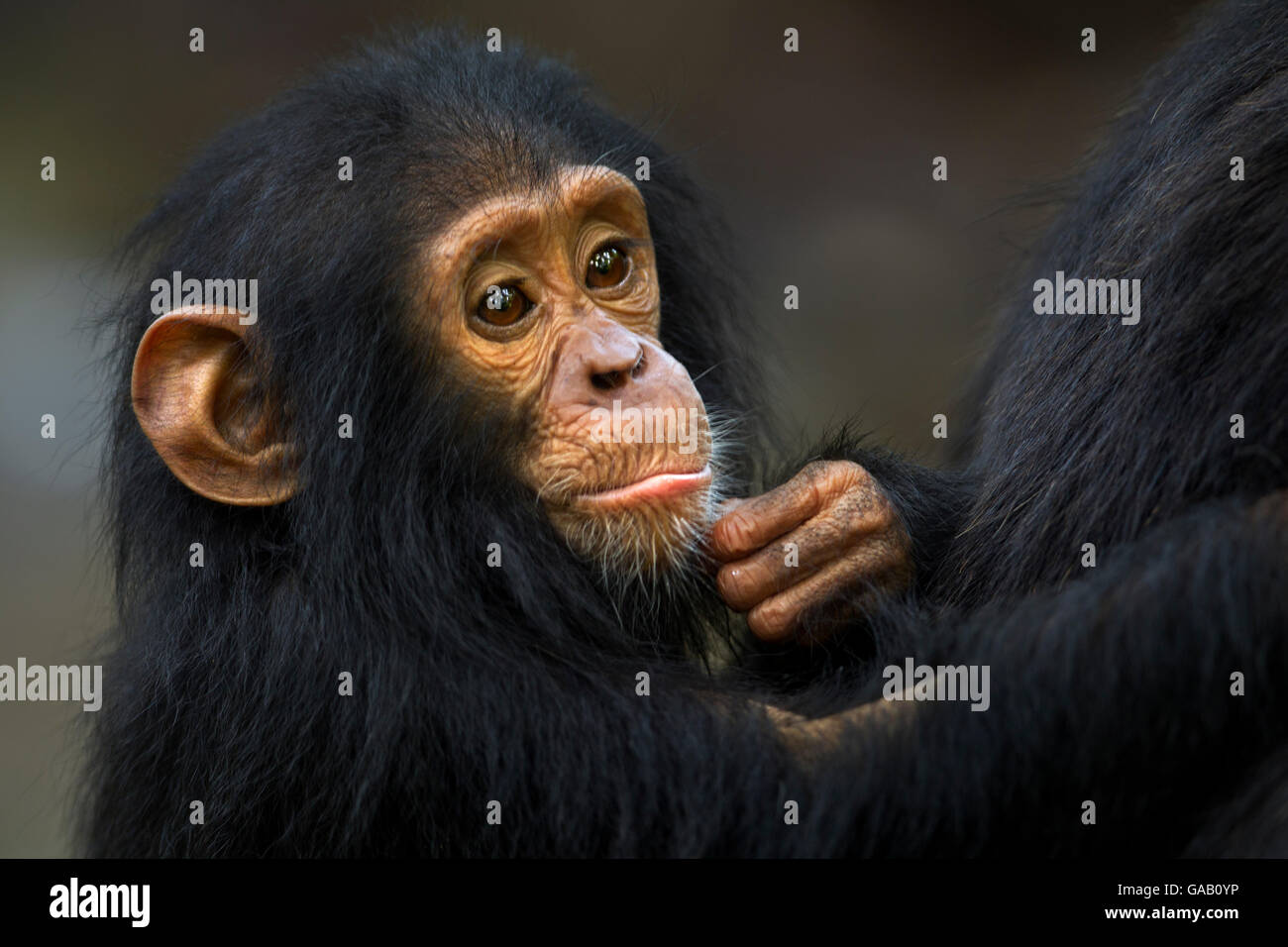 Eastern chimpanzee (Pan troglodytes schweinfurtheii) infant male 'Gizmo' aged 2 years, portrait. Gombe National - Stock Image