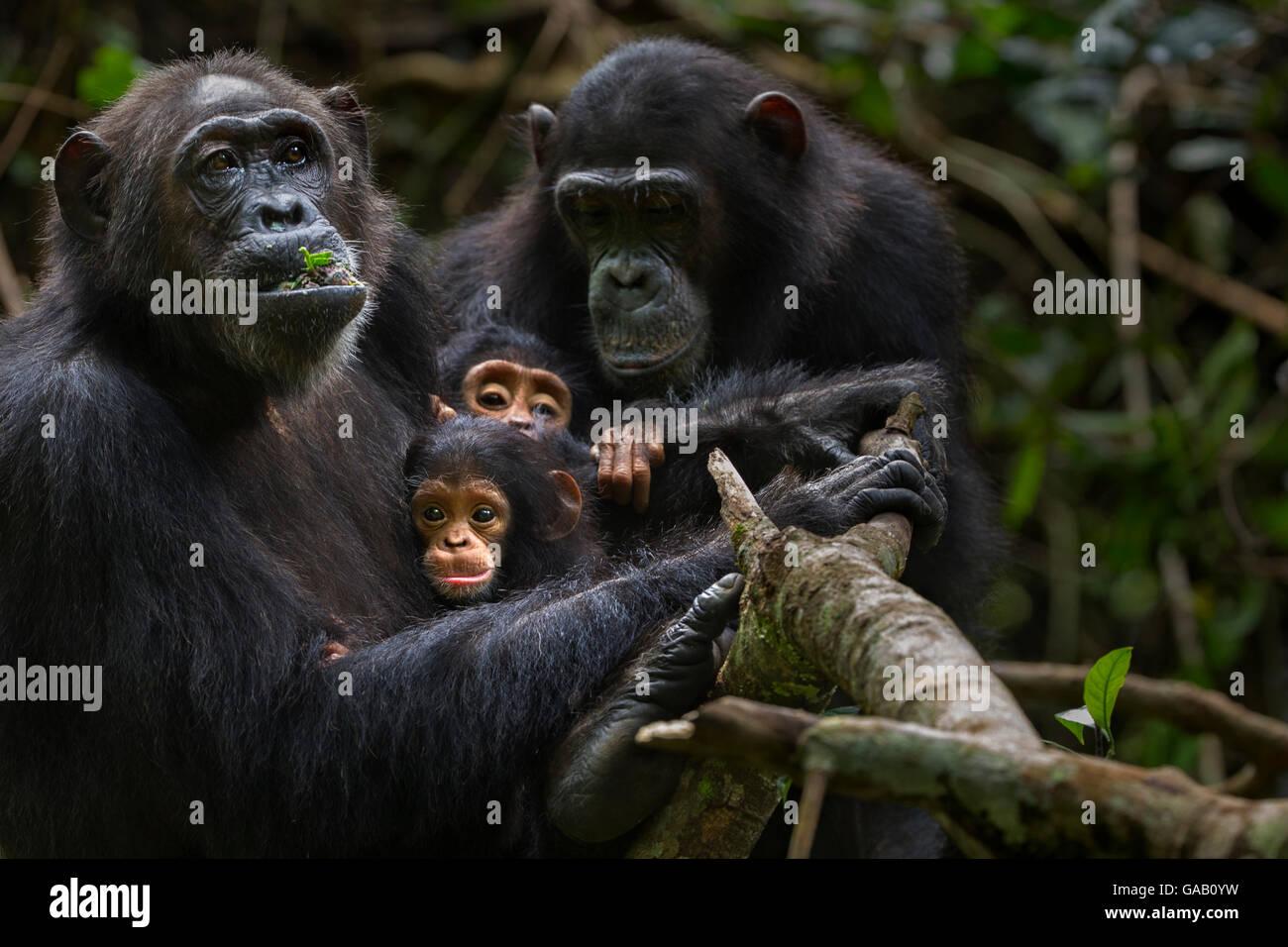 Eastern chimpanzee (Pan troglodytes schweinfurtheii) female 'Gremlin' aged 40 years holding her daughter - Stock Image