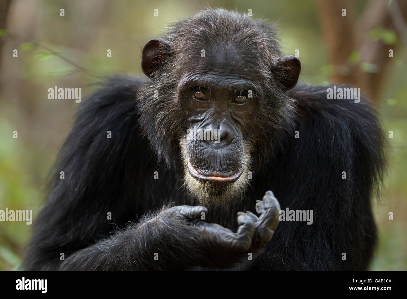 Eastern chimpanzee (Pan troglodytes schweinfurtheii) adult male 'Frodo' aged 35 years portrait. Gombe National - Stock Image