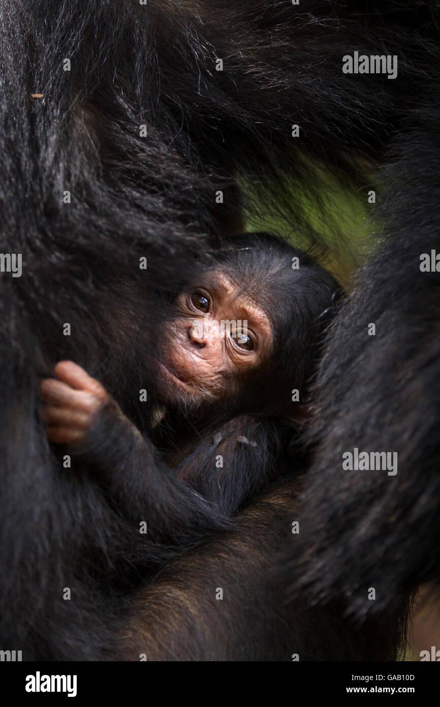 Eastern chimpanzee (Pan troglodytes schweinfurtheii) young baby of adolescent female 'Golden' suckling. - Stock Image