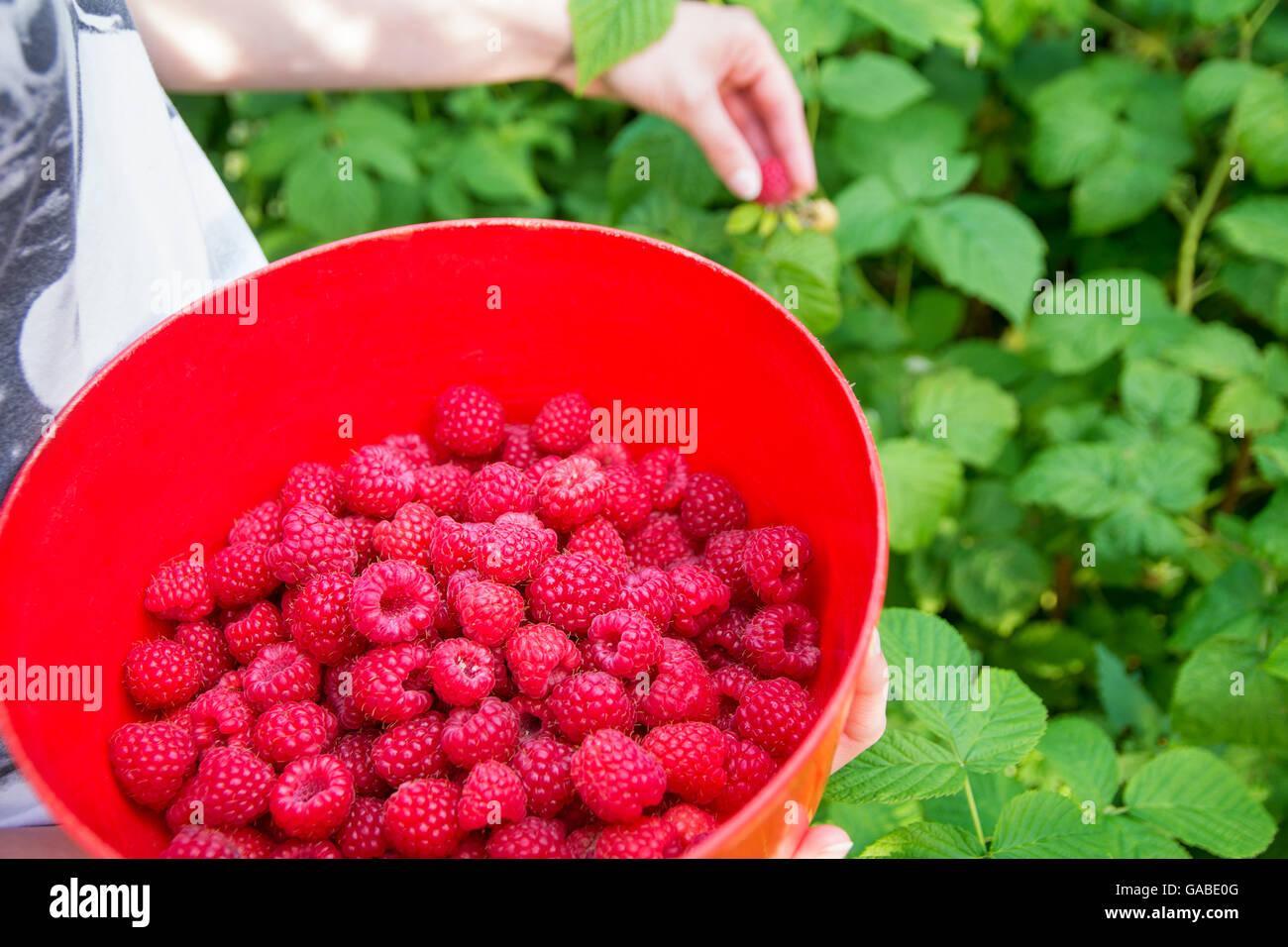 Girl picks raspberry in fruit garden into bowl - Stock Image