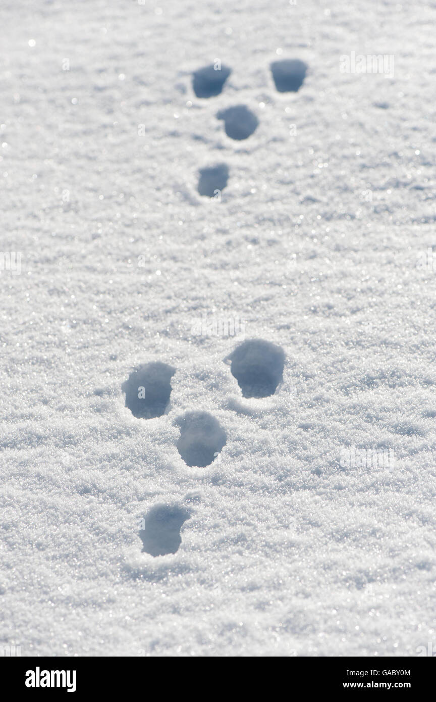 Rabbit tracks in snow. Yorkshire, UK. - Stock Image