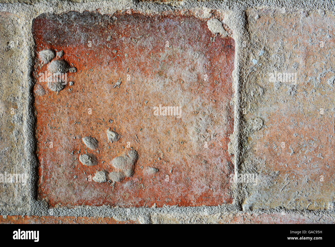 old terracotta floor tile with imprints of dog's paws Stock