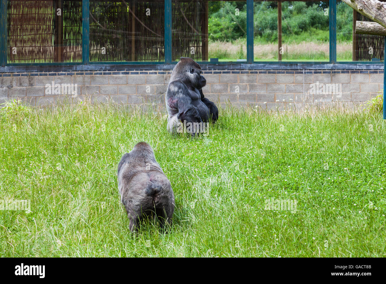 Gorillas in enclosure at Twycross Zoo, Leicestershire - Stock Image