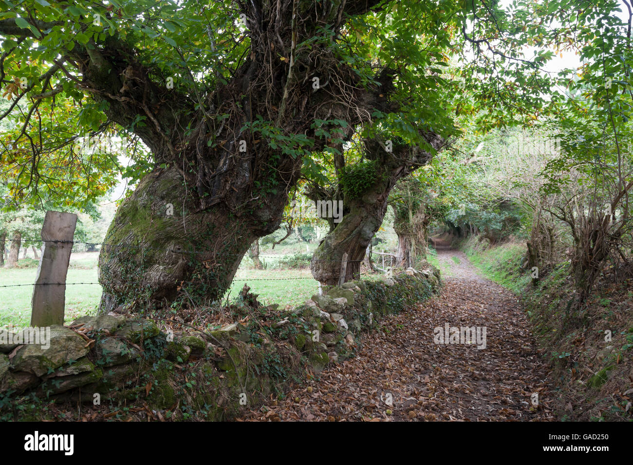 Province of Lugo, Spain: Sweet chestnut trees line the Camino Primitivo between the villages of Bacurín and - Stock Image