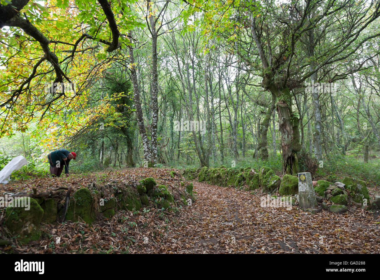 Province of Lugo, Spain: Near the village of Bacurín a man harvests sweet chestnuts. - Stock Image