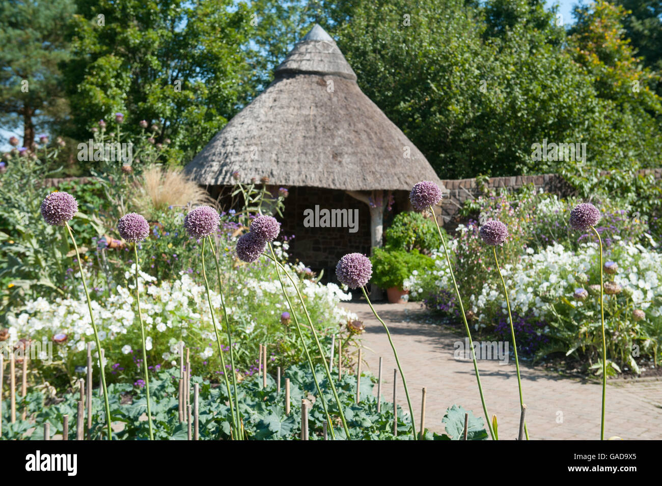 Elephant garlic (Allium ampeloprasum) by a Thatched Roof Summer House in the Fruit and Vegetable Garden at RHS Rosemoor - Stock Image