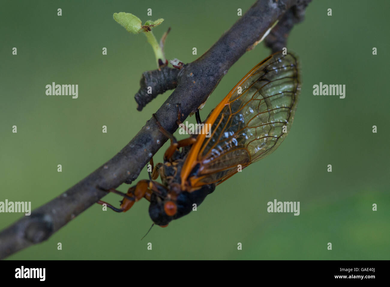 Female periodical cicada (magicicada septendecim) laying eggs in tree branch as part of brood V emergence in southwestern - Stock Image