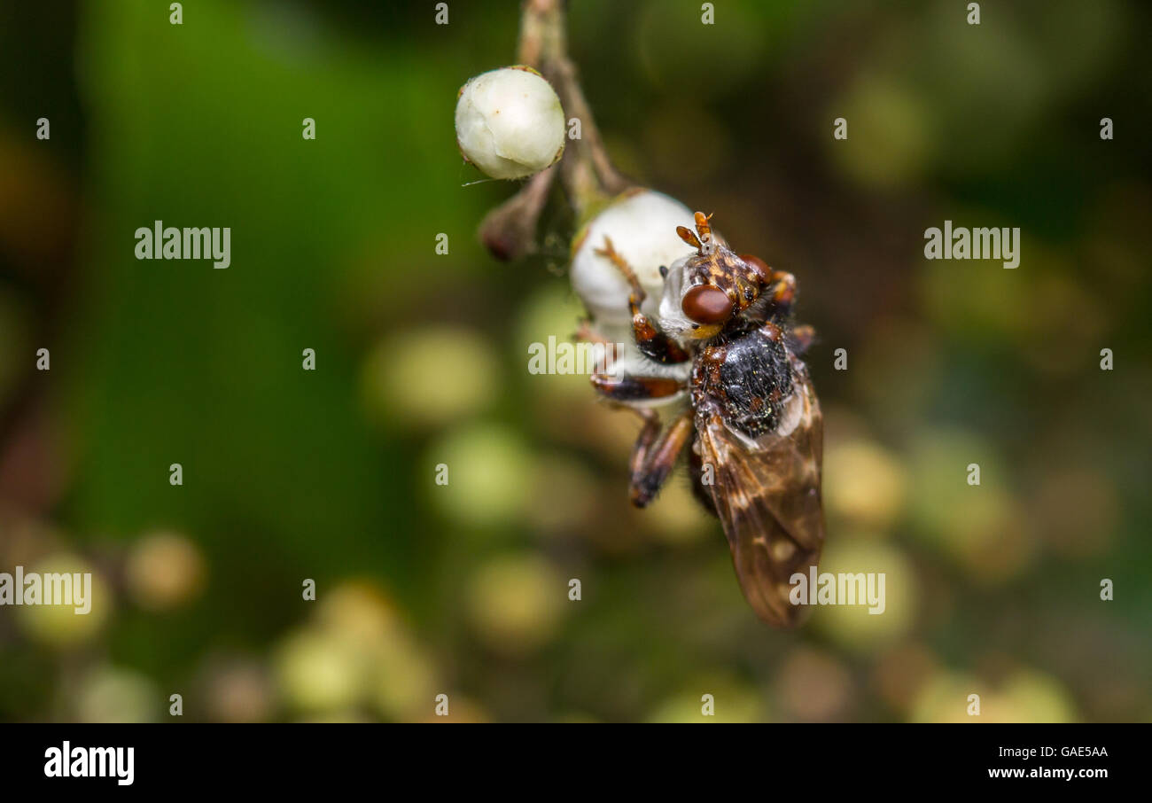 Thick-headed fly (Myopa buccata) waiting for a bumblebee to parasitise - Stock Image