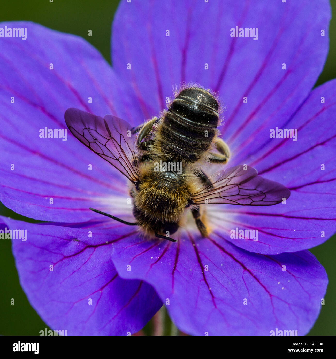 Leaf-cutter bee (Megachile species) feeding on a geranium flower - Stock Image