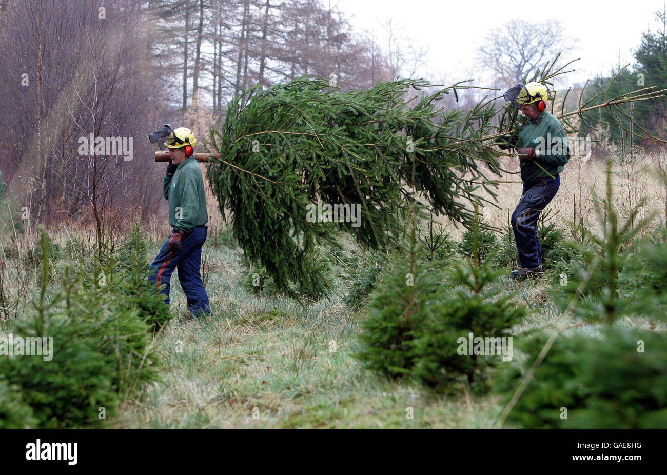 Cut Down Christmas Tree Near Me.Christmas Trees Being Cut Down Stock Photo 109722860 Alamy