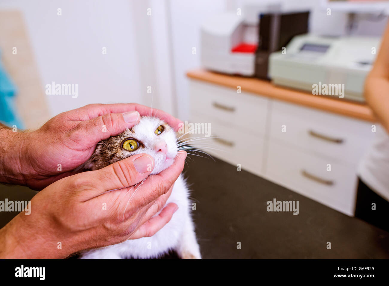 Veterinarian examining cat with sore eye at Veterinary clinic. - Stock Image