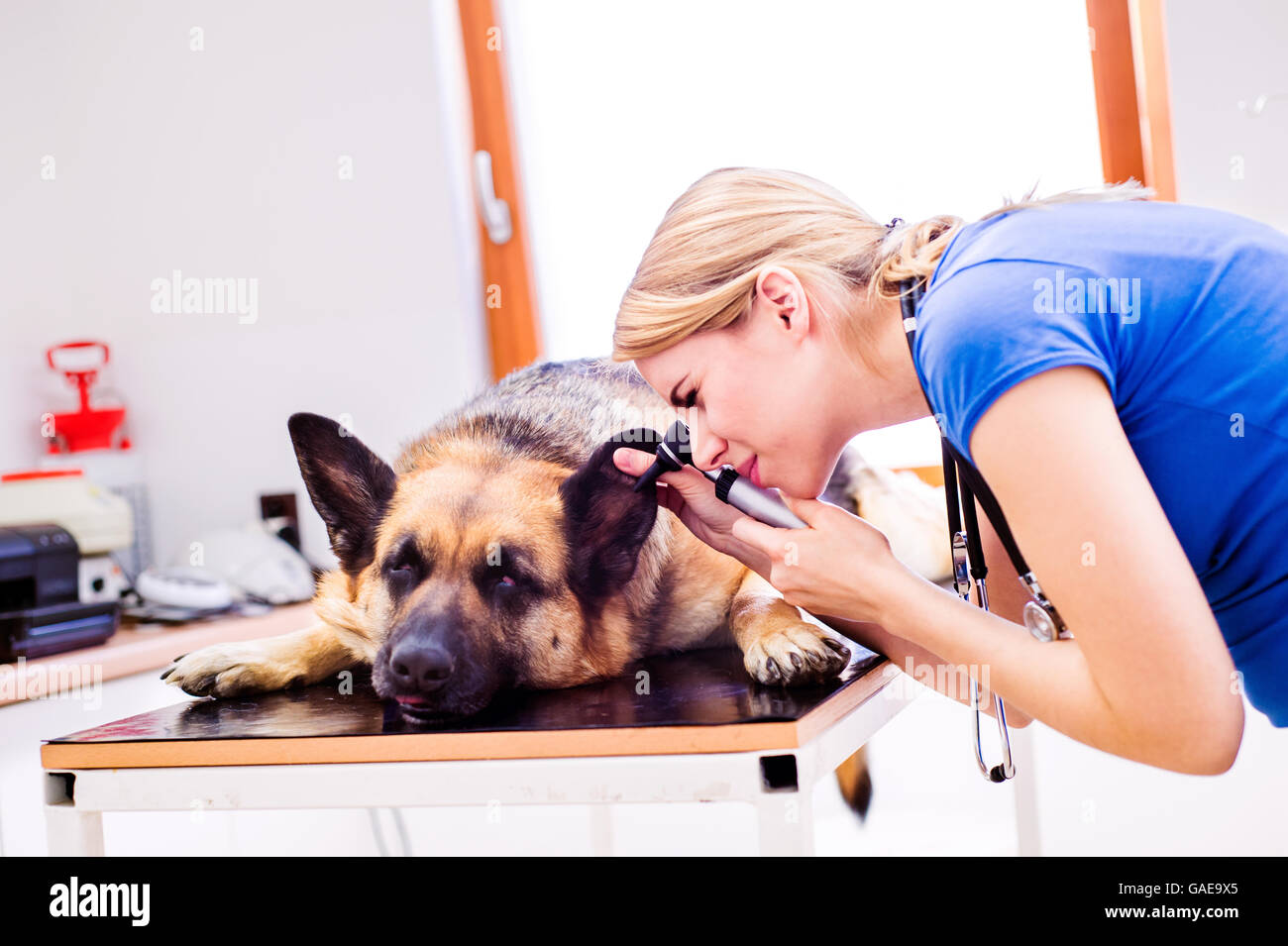 Veterinarian examining German Shepherd dog with sore ear. - Stock Image