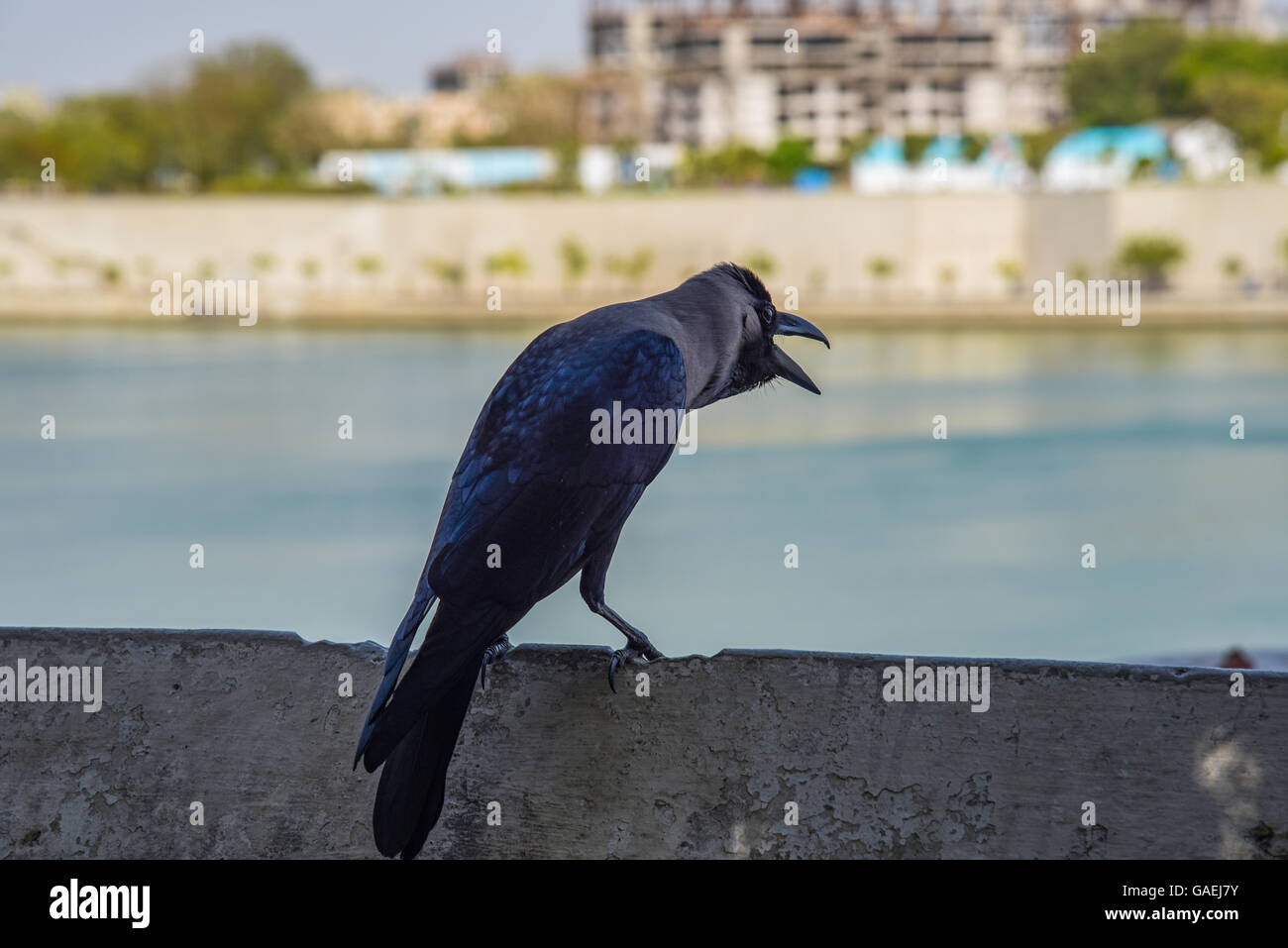 A crow sitting at the walkway of Sabarmati river front in Ahmedabad, India - Stock Image