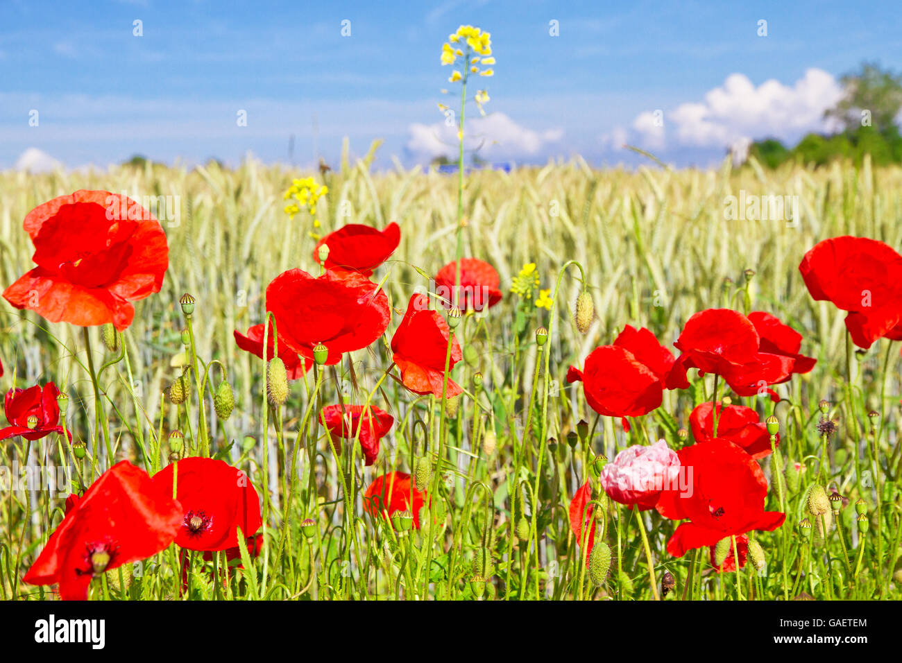 Agriculture,poppies,flowers,field,summer,growth - Stock Image