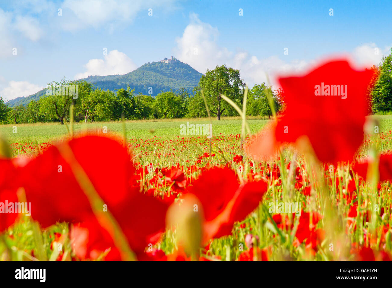 Field with red poppies, in background the castle Burg Teck, schwaebische Alb, Germany - Stock Image