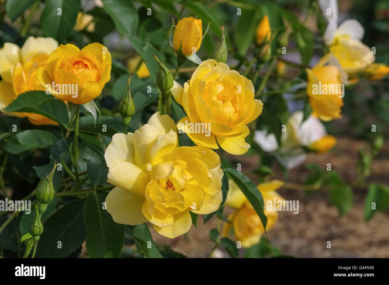 Englische Ros der Sorte Buttercup - yellow English Rose, called Buttercup - Stock Image