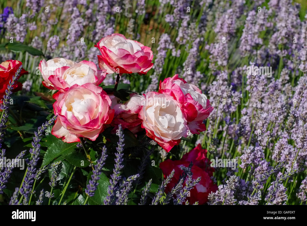 Rose Nostalgie in rot und weiß - the Rose Nostalgie and lavender flowers in summer garden - Stock Image