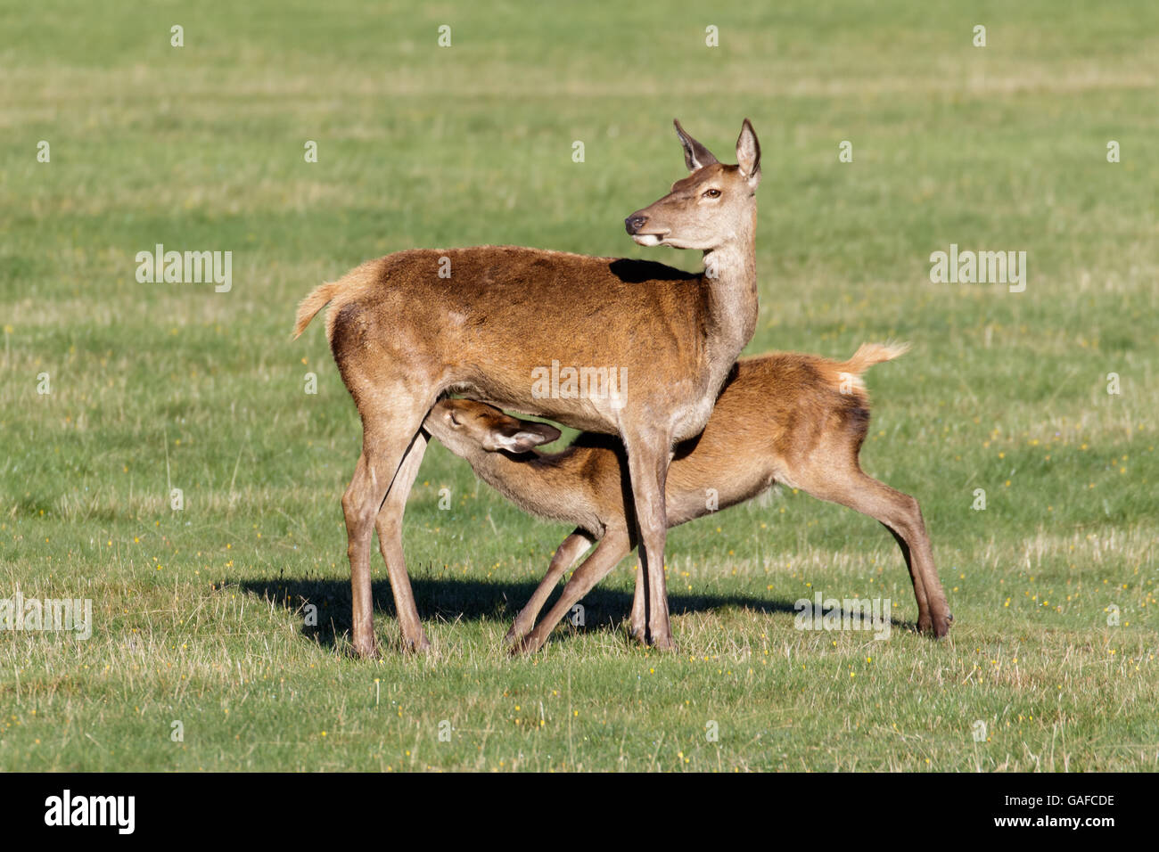 Red Deer young baby calf (Cervus elaphus) suckling feeding from female hind mother mum - Stock Image