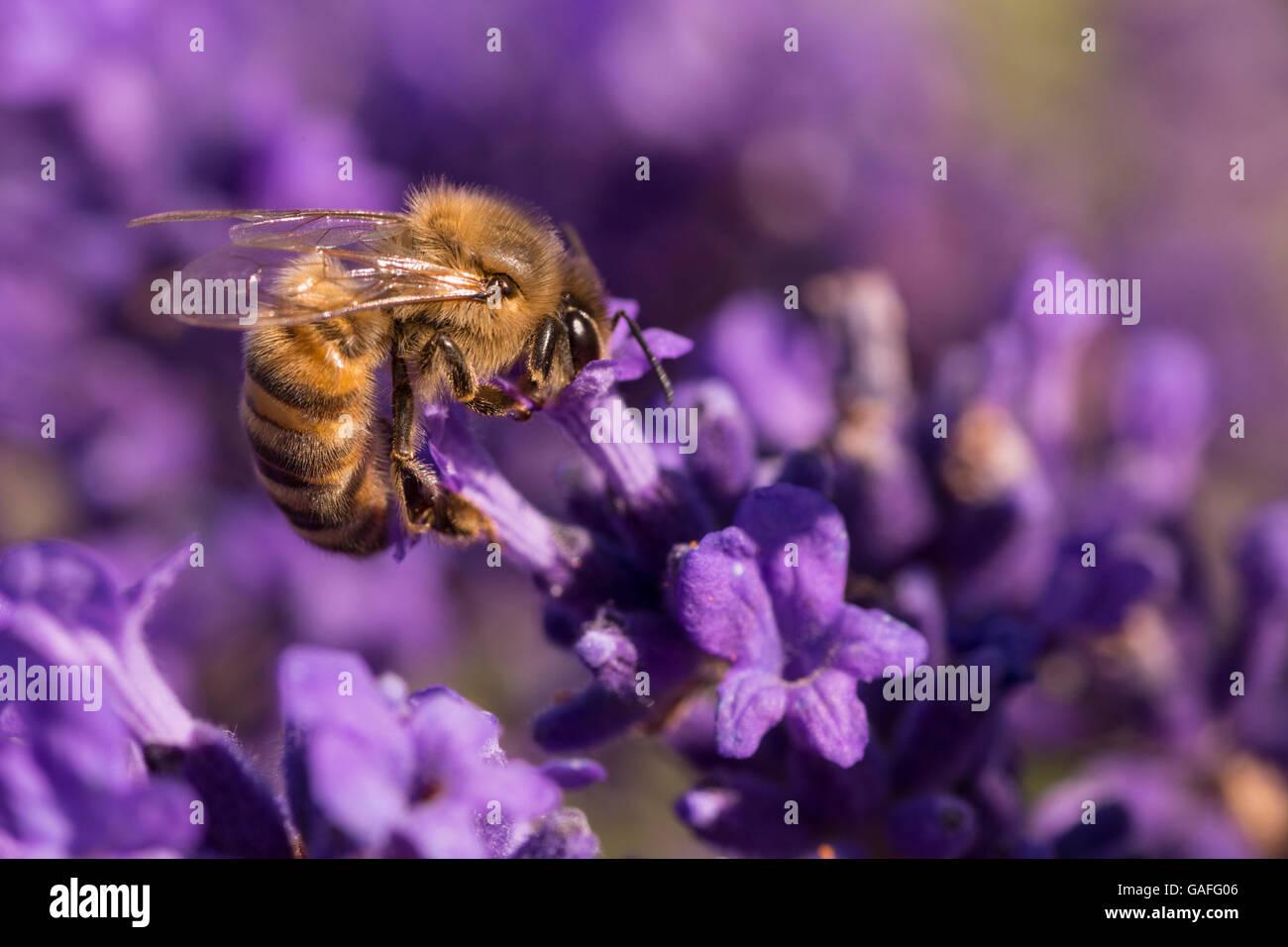 Bee on Lavender Stock Photo