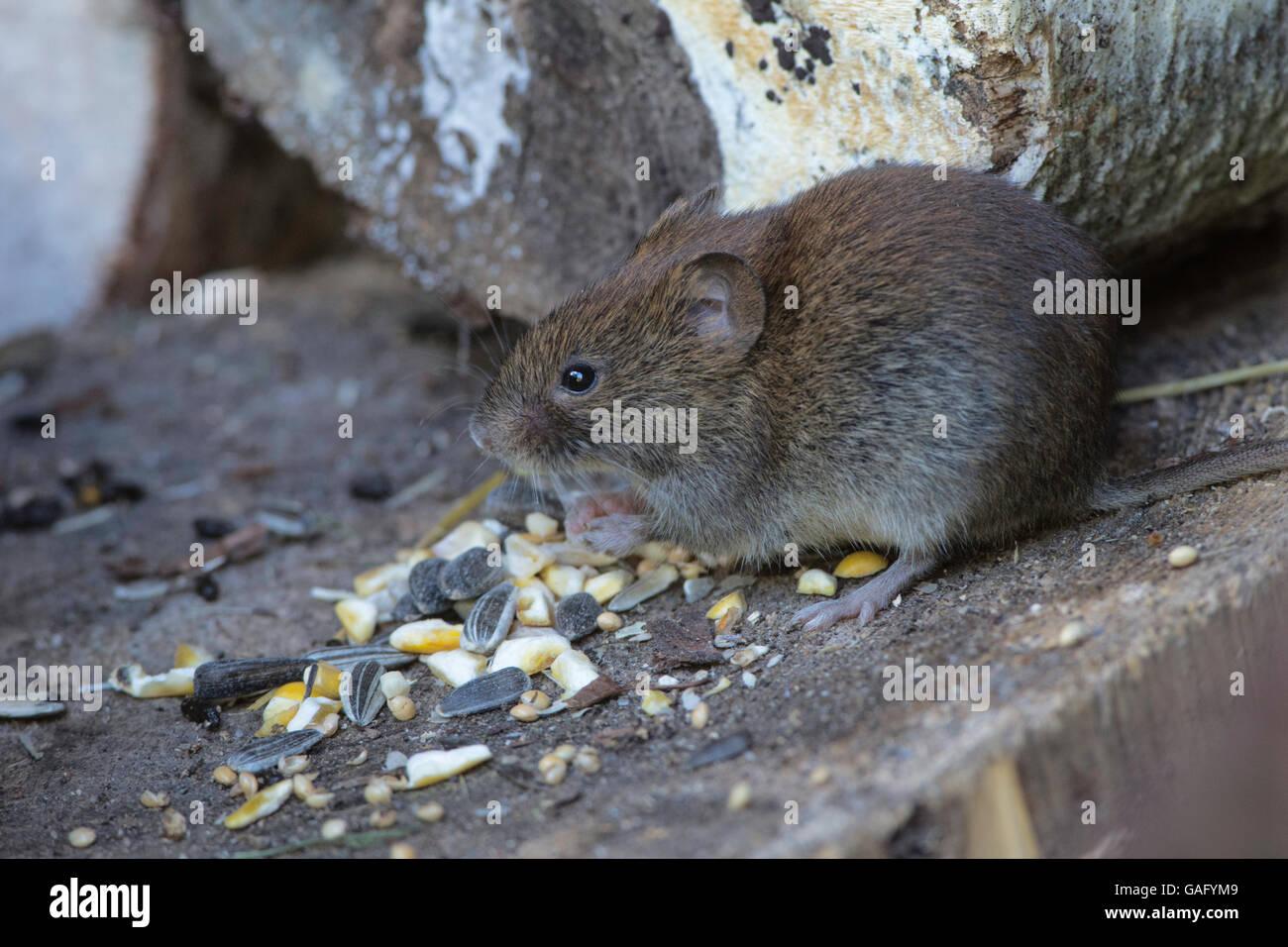 Bank Vole(Clethrionomys  glareolus) eating spilt bird seed. - Stock Image