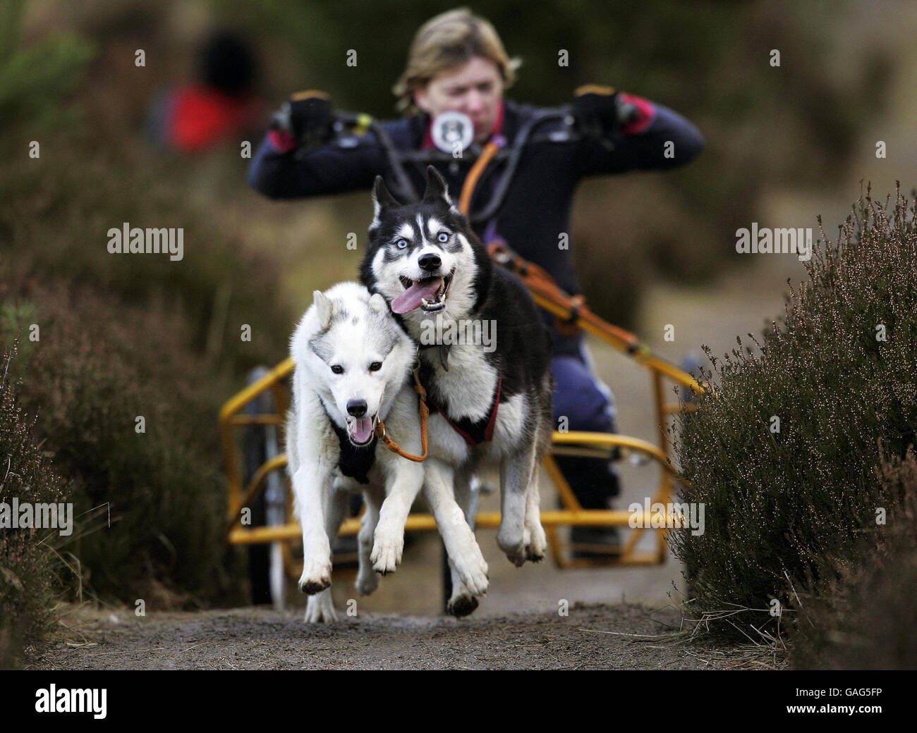 A competitor races along a track whilst participating in the 25th Aviemore Sled Dog Rally at Glenmore Forest Park Stock Photo