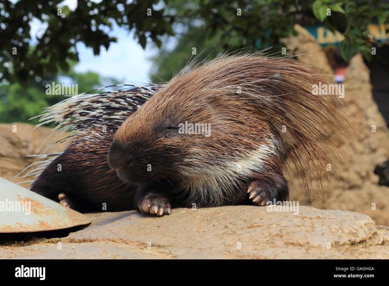 Porcupine sunbathing at Cotswold Wildlife Park Stock Photo