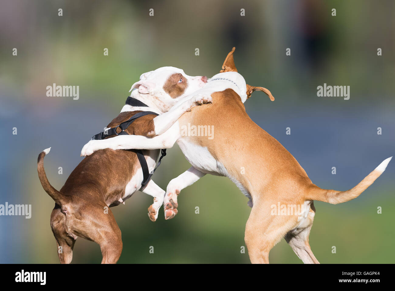 Wild play of two dogs at a park. - Stock Image