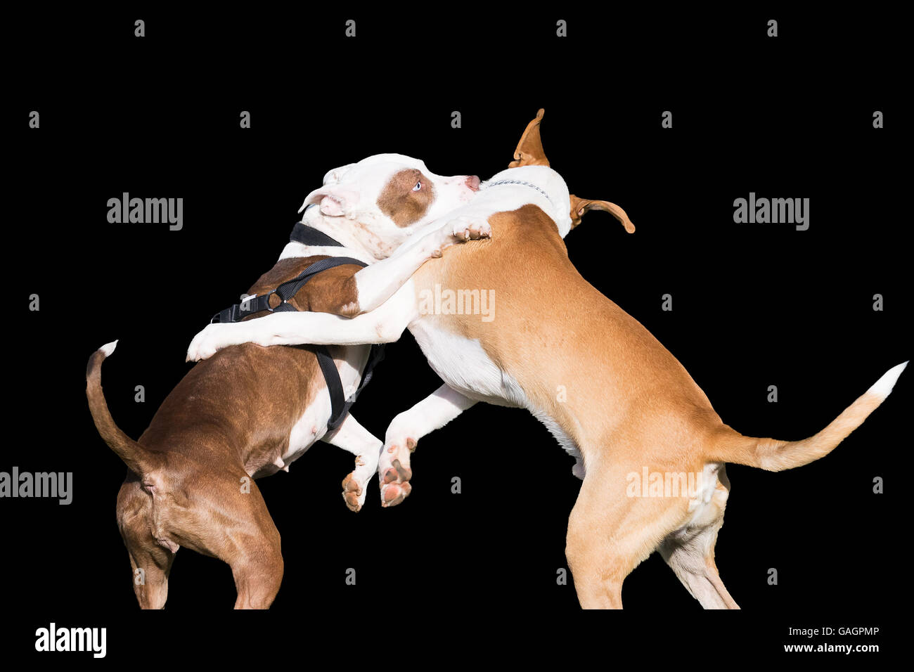 Dogs fight isolated on black. - Stock Image