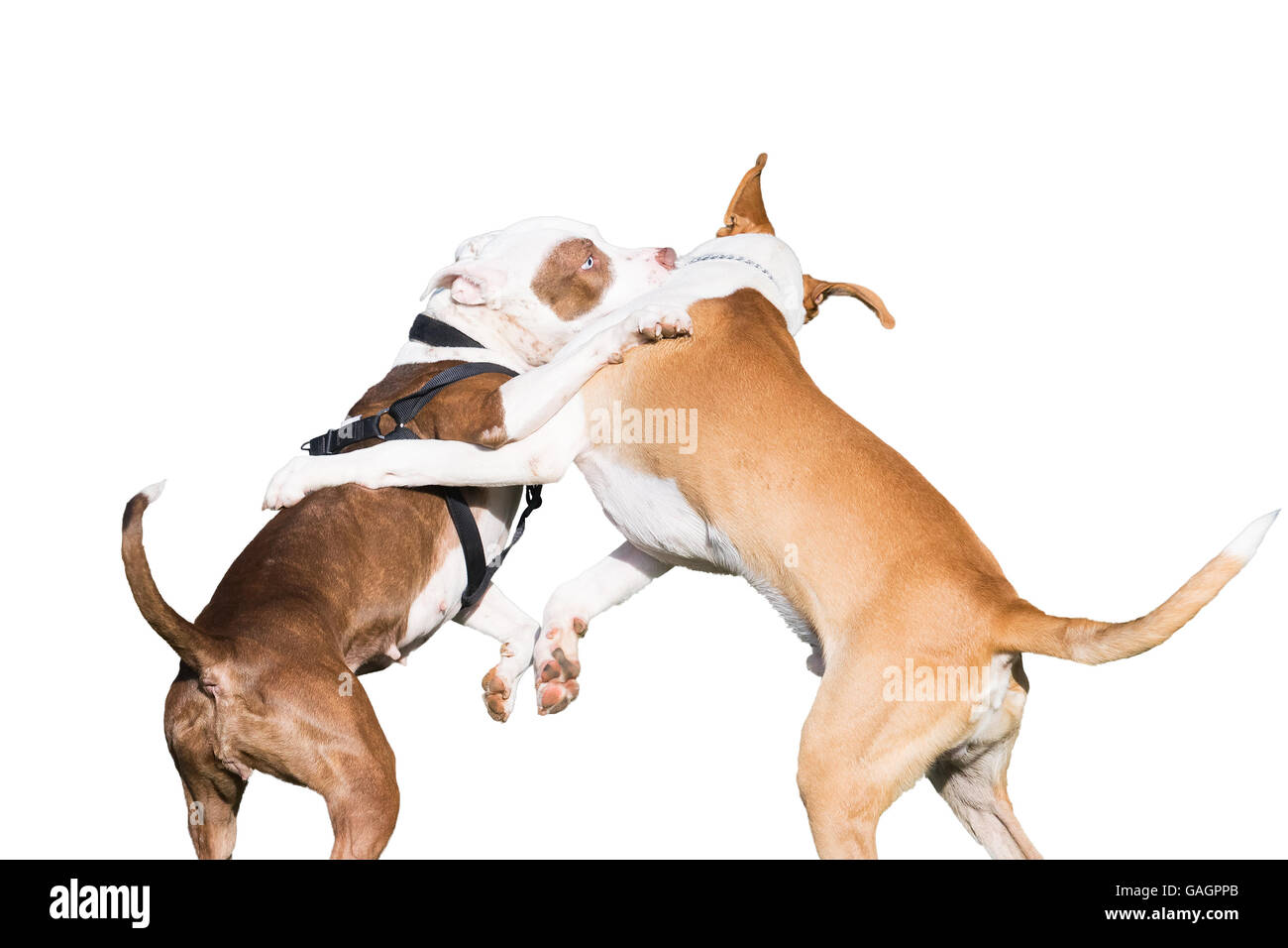 Dogs fight isolated on white. - Stock Image