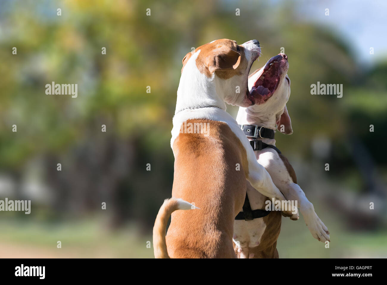 Two dogs in a park against each other. A beautiful face to face moment of two dogs playing. - Stock Image