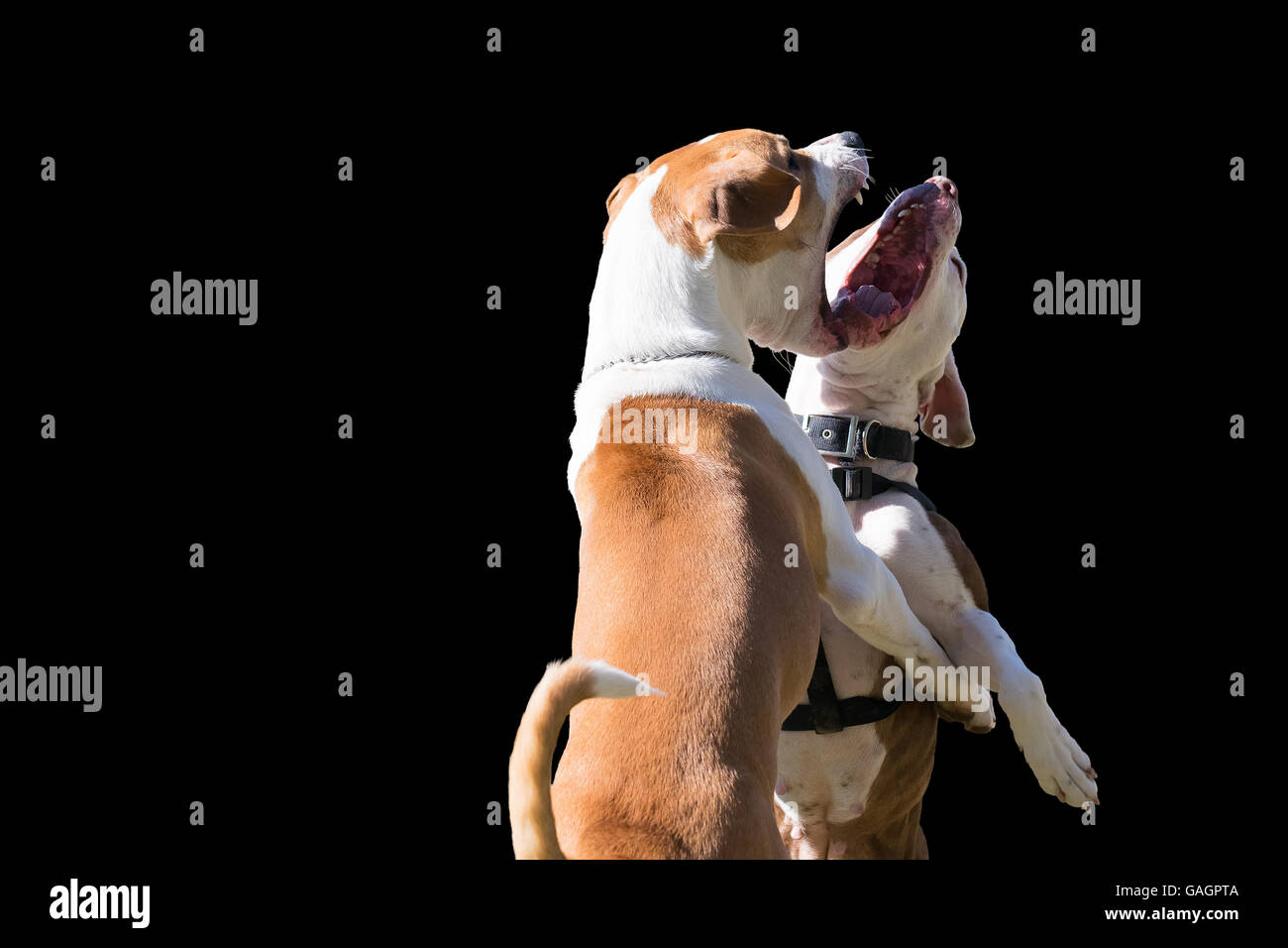 Dogs power isolated on black. - Stock Image