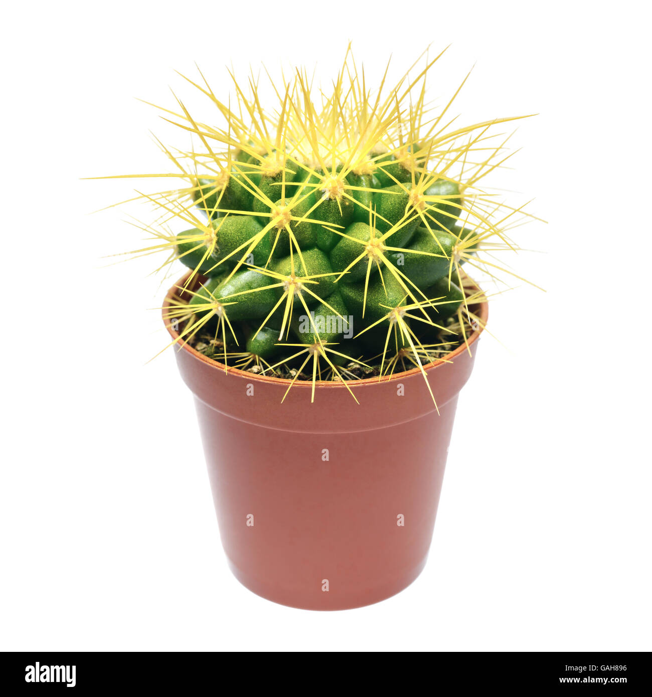 Plants And Flowers Single Cactus With Yellow Spikes In Flowerpot