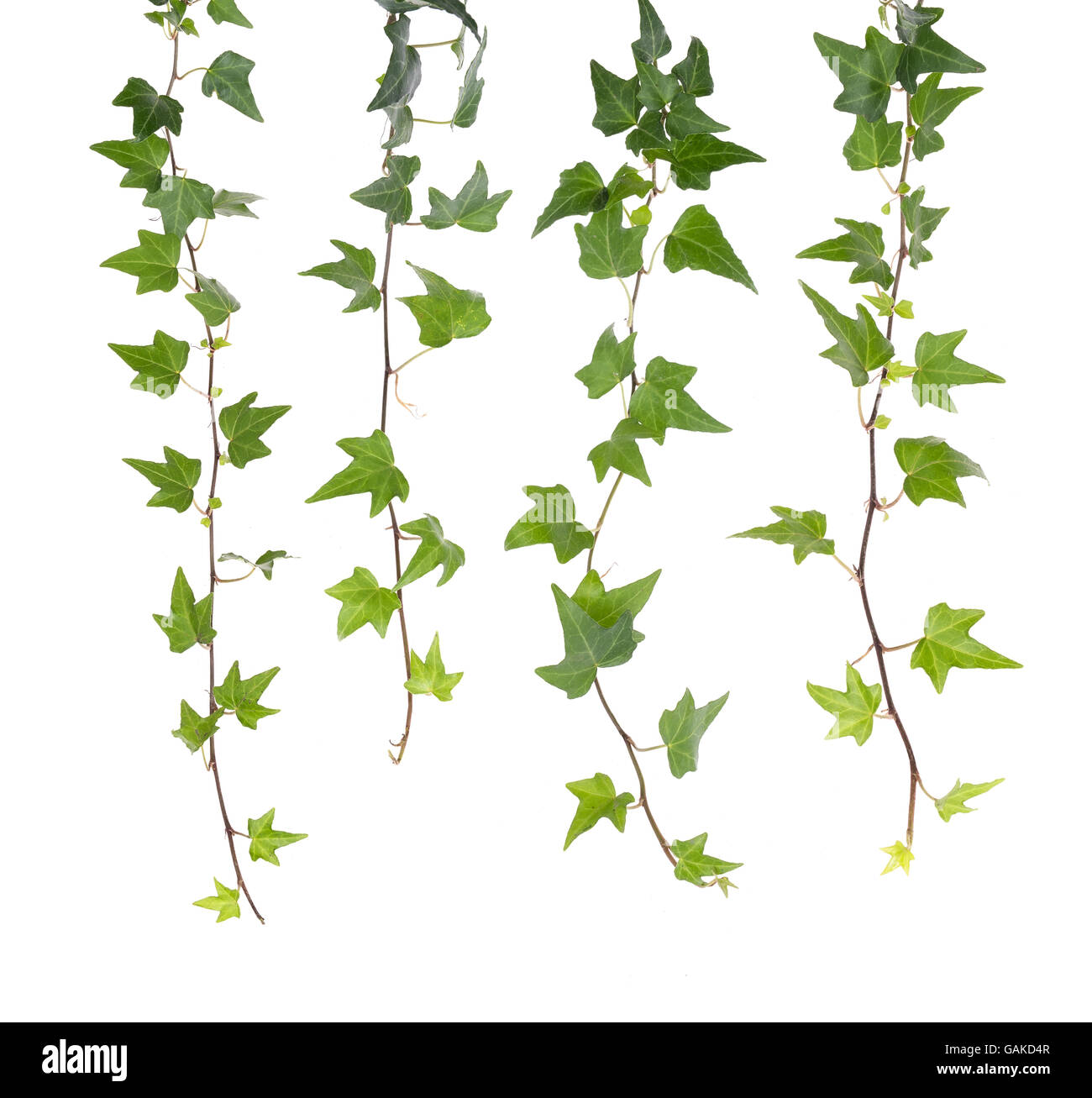 ivy leaves isolated on a white background - Stock Image