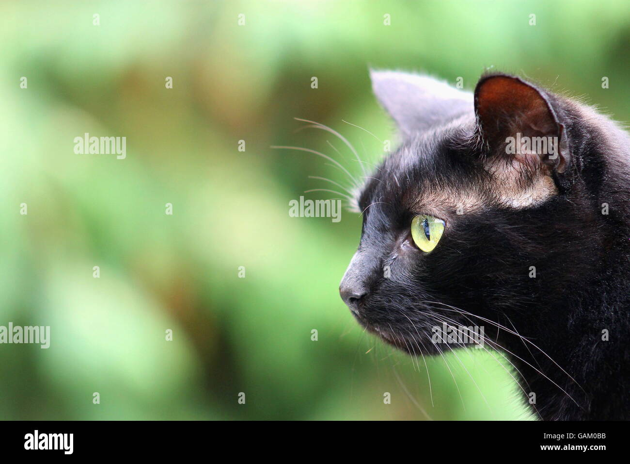 Black Cat with copy space - Stock Image
