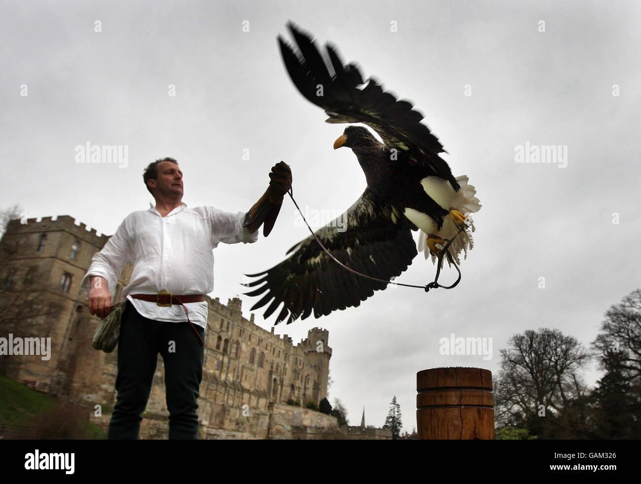 Stellar Sea Eagle at Warwick Castle - Stock Image