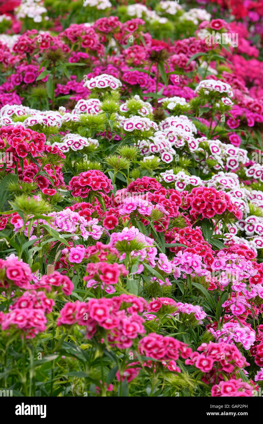red and pink sweet williams flowers - Stock Image