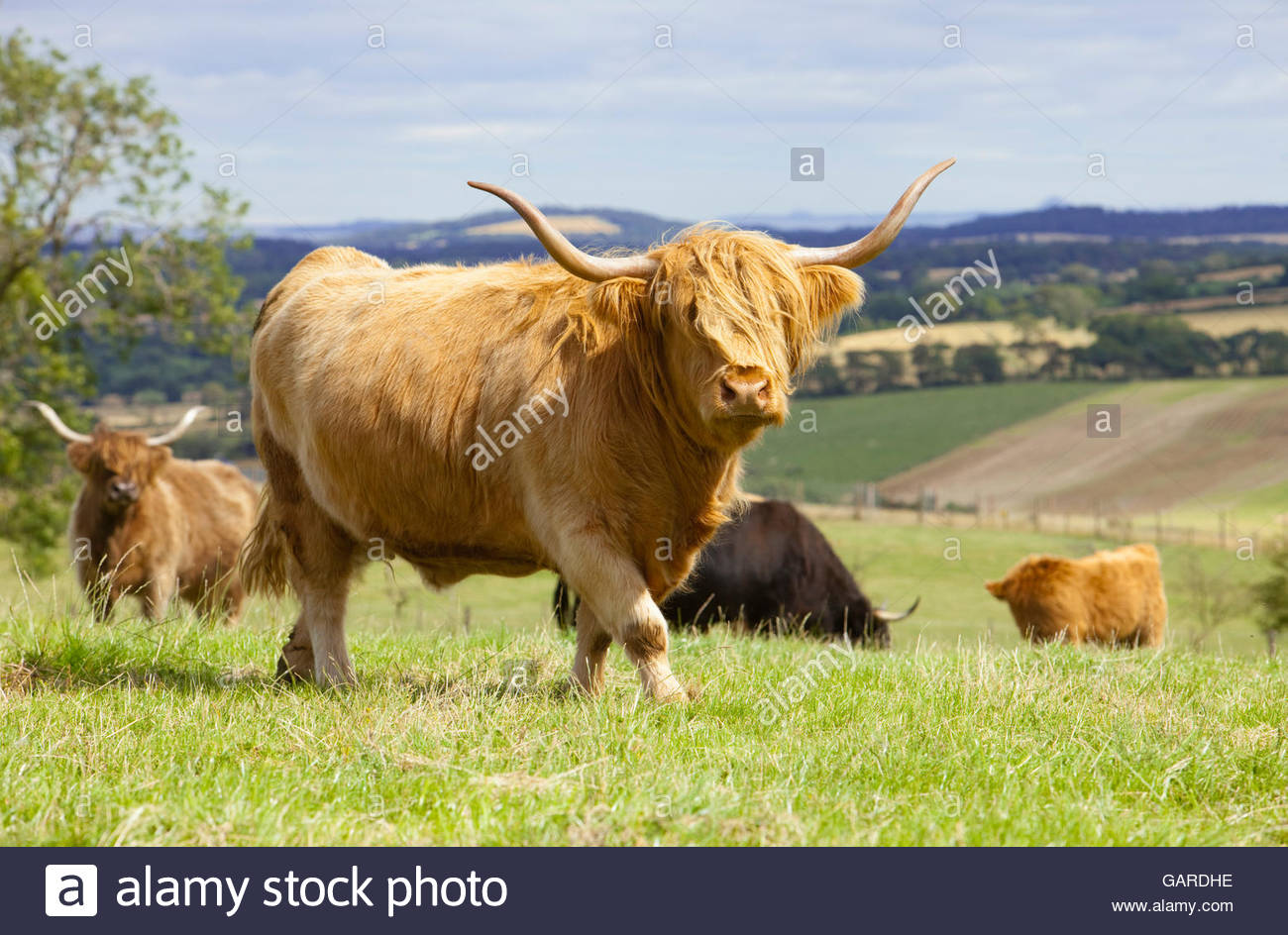 A herd of Highland cattle - Stock Image