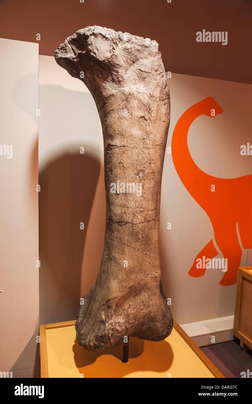 England, London, Forest Hill, Horniman Museum, Display of 145 million year old Sauropod Dinosaur Femur Bone Stock Photo