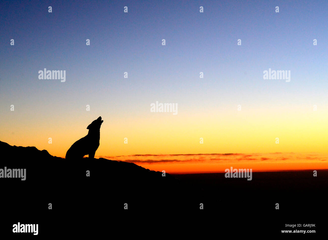 The last howl. A dog howls as the sun sets on a cold day in Triund, Himachal Pradesh, India - Stock Image