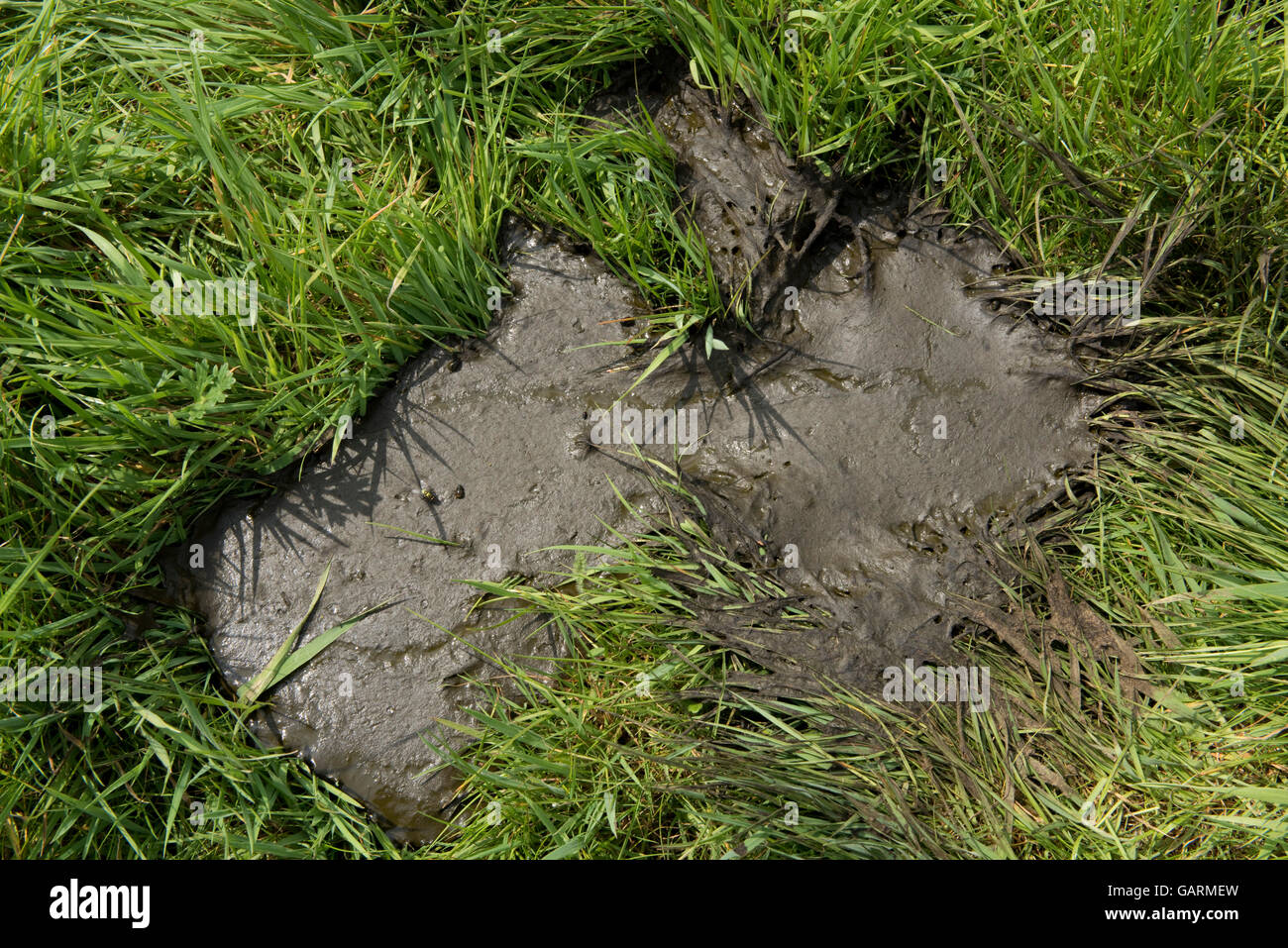 A fresh runny cow pat from a cow grazing on young spring grass, Berkshire, May - Stock Image
