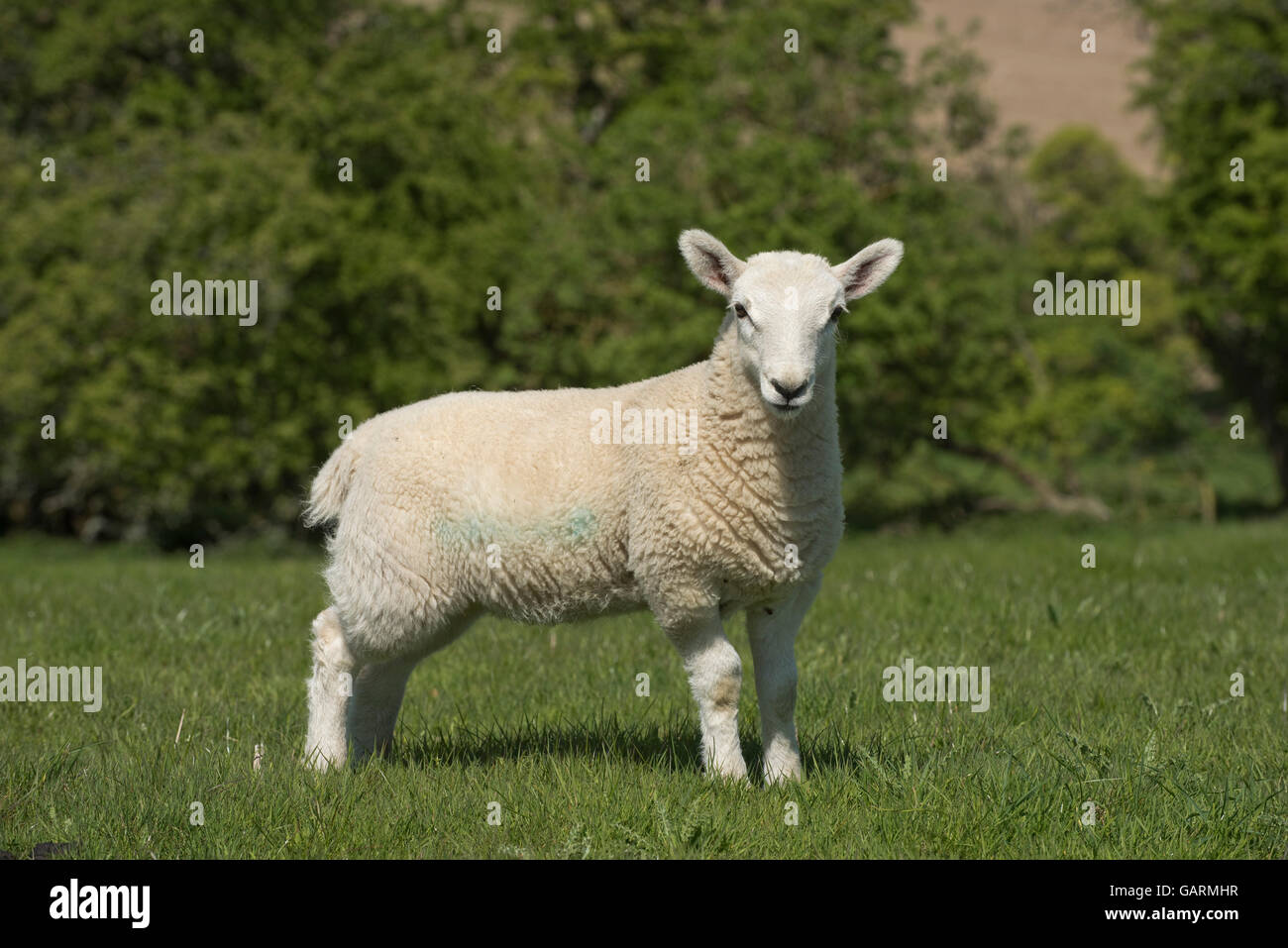 Young cheviot lamb on downland spring pasture, Berkshire, May - Stock Image
