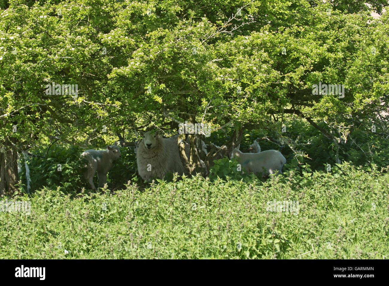 Ewe with young cheviot lambs sheltering from the sun on downland spring pasture, Berkshire, May - Stock Image