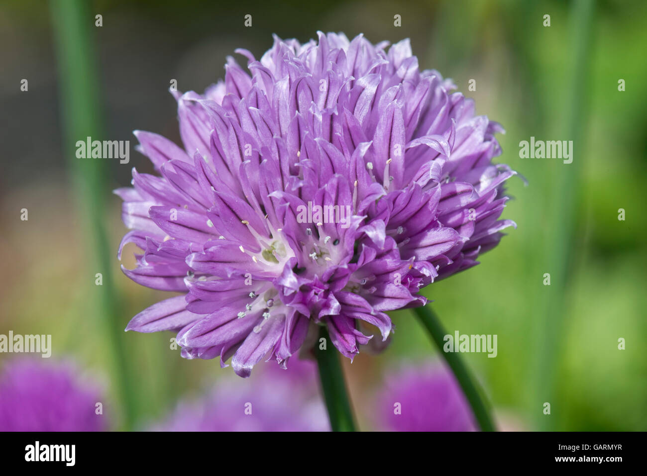 Lilac flower of chives, Allium schoenoprasum, a culinary herd in the onion family, May - Stock Image