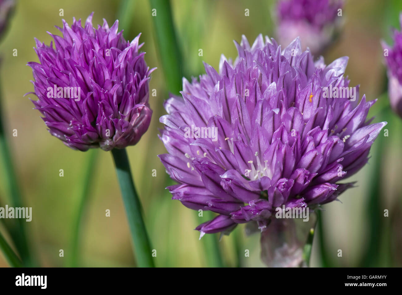 Lilac flower of chives, Allium schoenoprasum, a culinary herd in the onion family, May Stock Photo