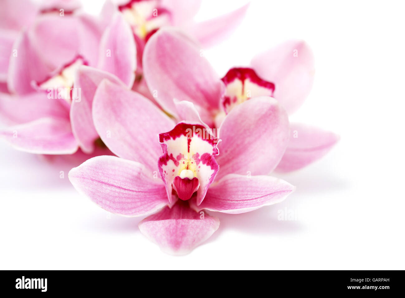 Pink Orchid Flowers Isolated On White Stock Photo 109931209
