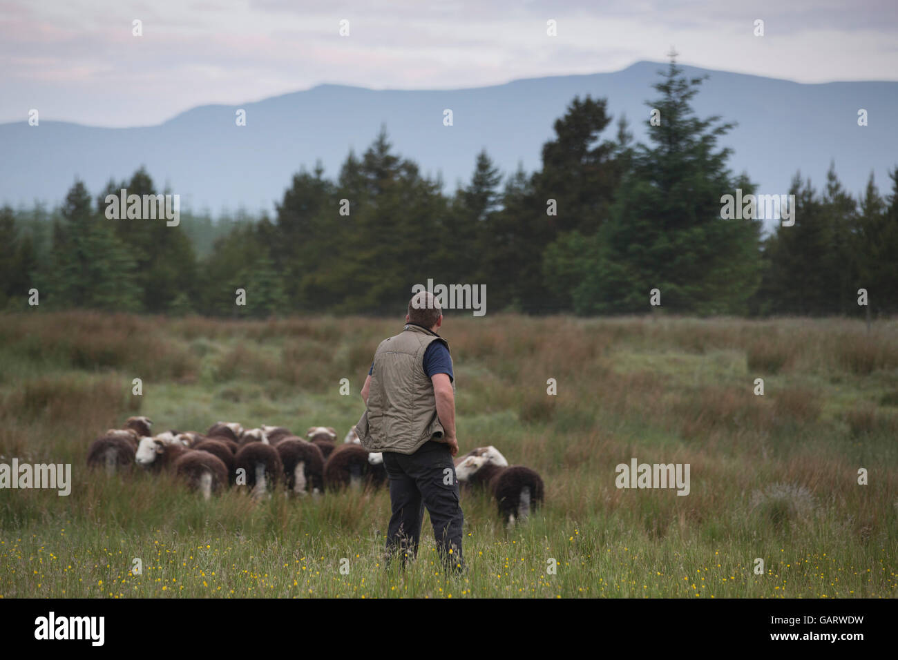 James Rebanks, author of best selling book 'The Shepherd's Life' on the family farm at Matterdale, Eden Valley, Lake District UK Stock Photo
