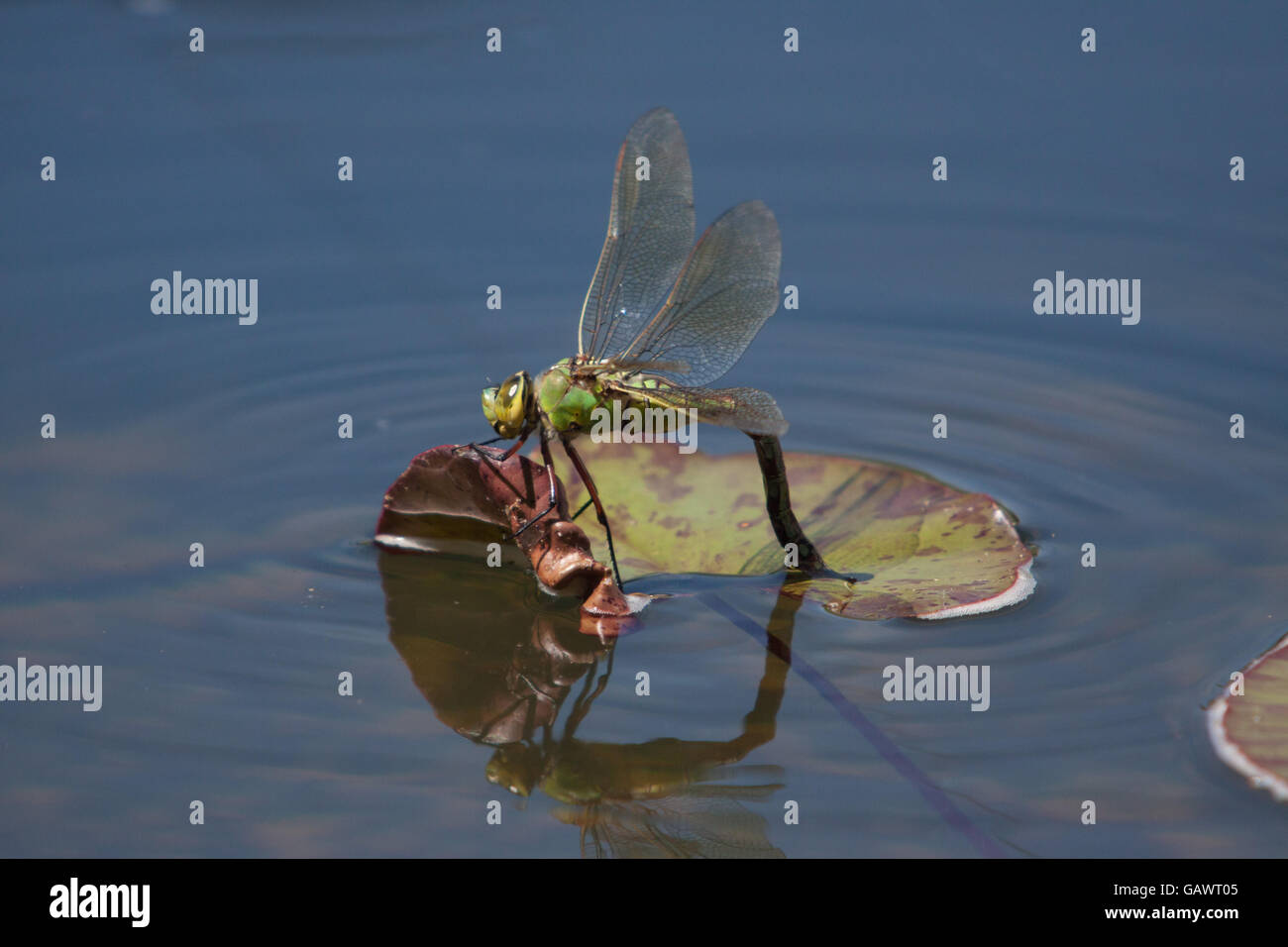 Lily Pad Dragonfly Stock Photos & Lily Pad Dragonfly Stock Images ...