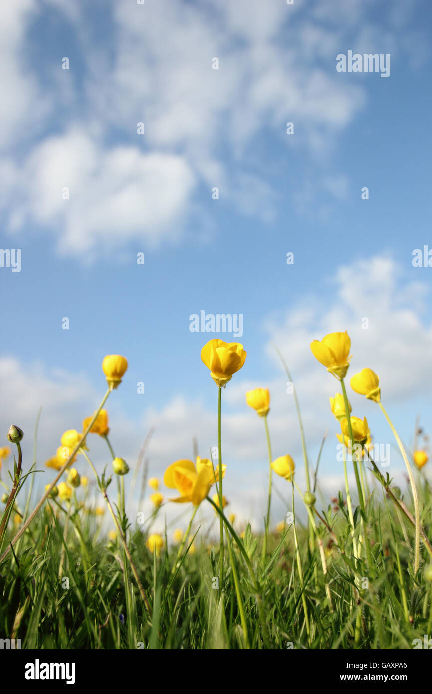 Meadow buttercups (anunculus acris) grow in undisturbed grassland, England UK - Stock Image