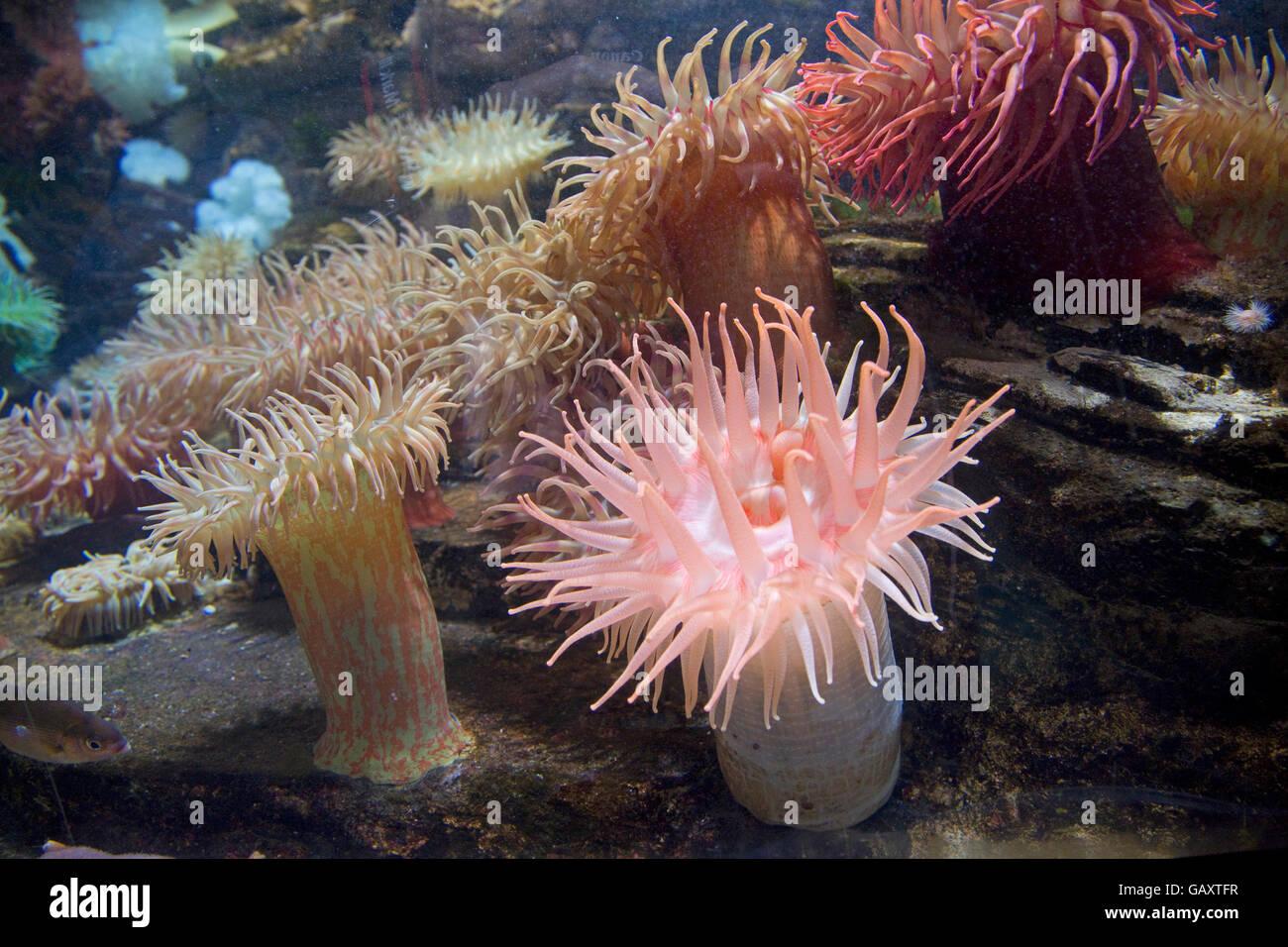 Variety of coloured sea anemones Oceanarium France - Stock Image